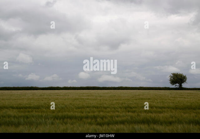 A field of barley in Suffolk with a hedge and tree on the skyline - Stock Image