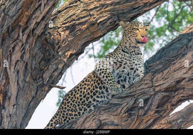 Botswana. Okavango Delta. Khwai concession. Female leopard (Panthera pardus) high in a tree. - Stock Image