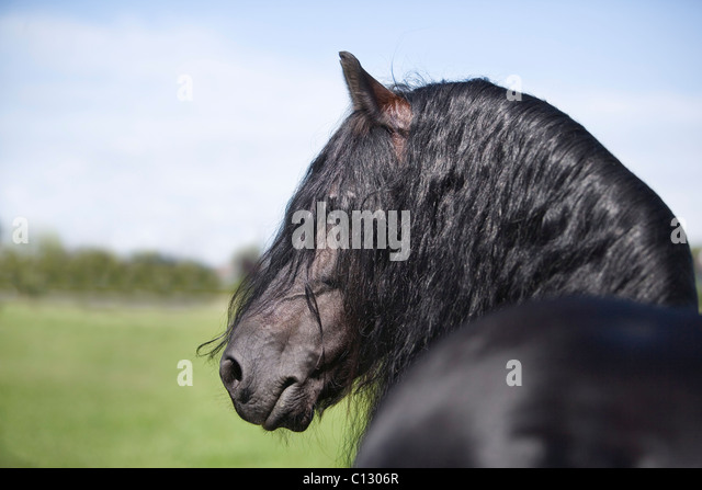long manes stock photos - photo #11