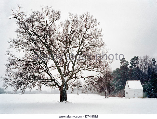 Port Jefferson Station (N United States  City pictures : Large oak tree in a snowy field, Newport News, Virginia, USA Stock ...