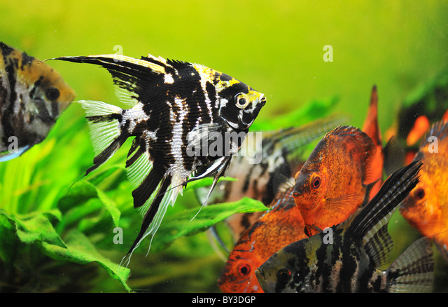 Research papers done on pterophyllum altum