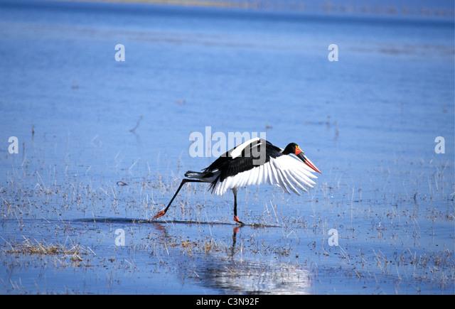 Zimbabwe. near Kariba. Lake Kariba. Saddle billed stork (ephippiorhynchus senegalensis). Dutch: zadelbekooievaar. - Stock Image