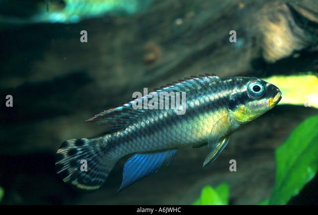 Dwarf African Cichlid Stock Photos Dwarf African Cichlid