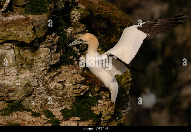 NORTHERN GANNET Morus bassanus An adult landing on the cliff tops. May. Bempton Cliffs RSPB Reserve, East Yorkshire, - Stock Image