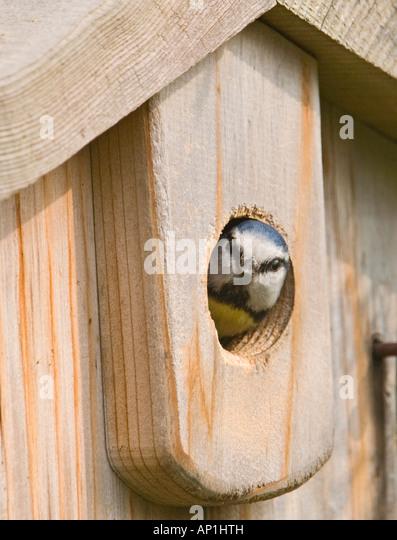 Blue Tit Parus caeruleus looking out of nestbox in garden Kent spring - Stock-Bilder