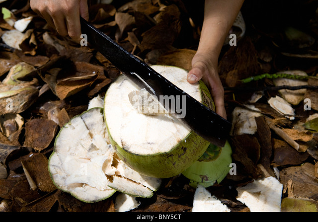 Opening a coconut with a machete - Stock Image