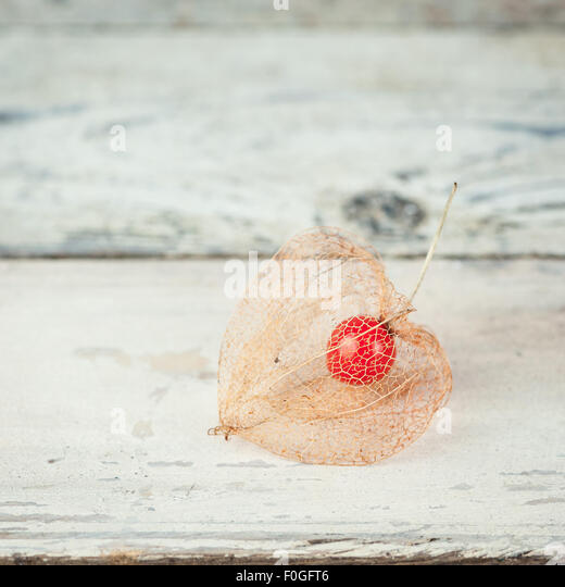 dried Physalis alkekengi showing the red fruit inside - Stock Image