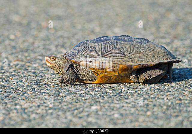 Diamondback Terrapin Turtle - Stock Image