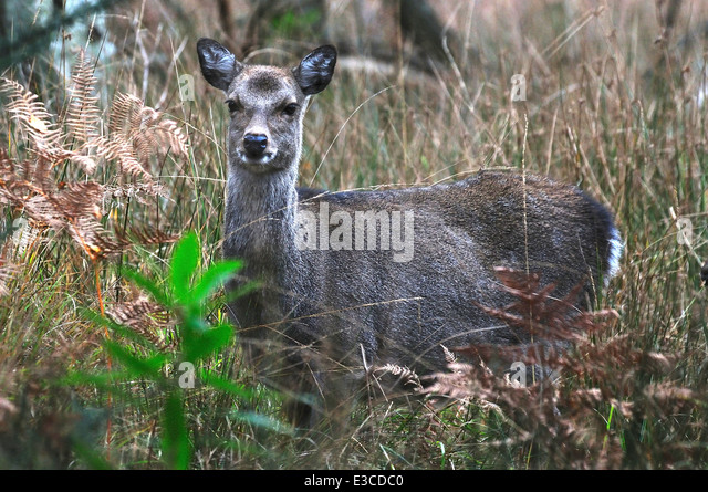 sika deer cervus nippon mammal mammals animal animals wild wildlife nature - Stock Image