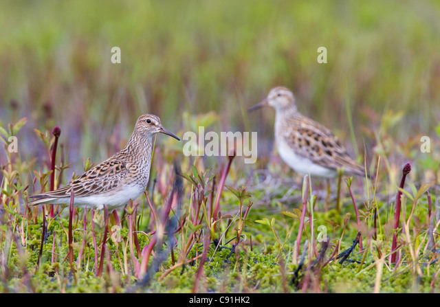 Two Pectoral Sandpiper foraging among vegetation during Spring migration, Copper River Delta, near Cordova, Alaska, - Stock Image