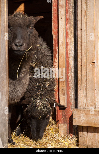 Sheep looking from the barn, Sweden - Stock Image