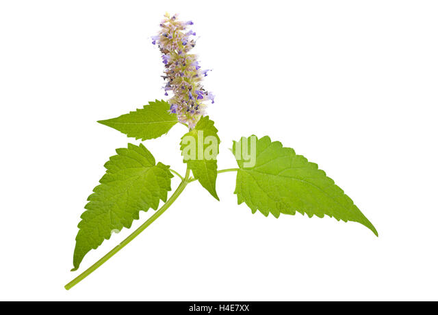 how to tell catnip from mint