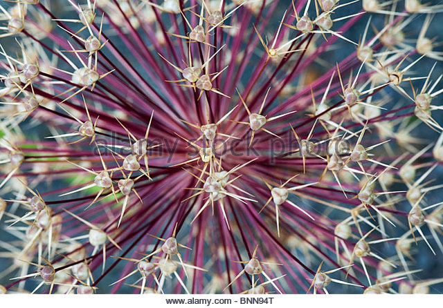 Allium Christophii flower seed pods abstract. Star of Persia seed head pattern - Stock Image
