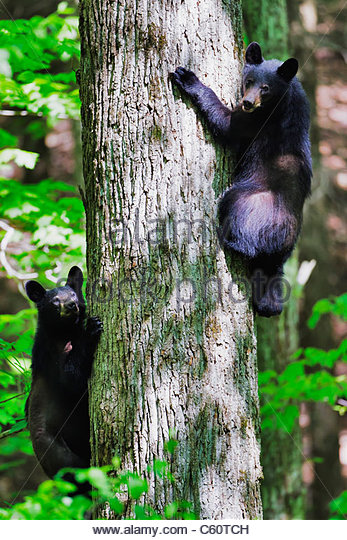 Two Black Bear cubs in a tree - Stock Image
