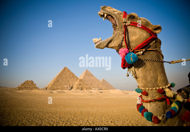 Camel at the Pyramids, Giza, Cairo, Egypt - Stock Image