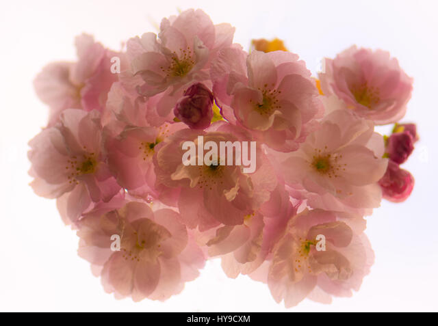 Japanese flowering cherry (Prunus hokusai) flowers from below. Large semi-double pale pink flowers of tree in the - Stock Image