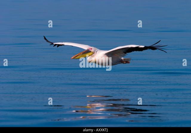 White Pelican, (Pelecanus onocrotalus), Walfish Bay, West Coast, Namibia - Stock Image