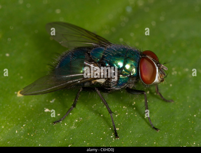 Greenbottle fly (Lucilia or Paenicia sericata), a common blowfly. Used by forensic entomologists to determine age - Stock Image