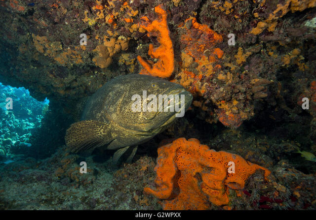 A Goliath grouper projects a cautionary glance as it lingers near the protection of a reef ledge at Fire Coral Caves - Stock-Bilder