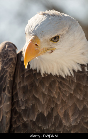 32 year old male Bald Eagle at the Toronto Zoo - Stock Image