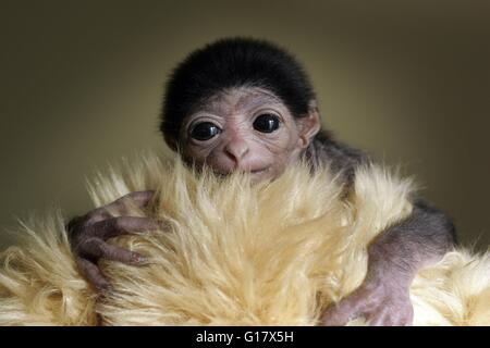 A baby Lar Gibbon wrapped in a fake fur to keep him warm. - Stock Image