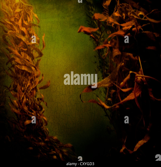 Kelp seaweed flowing in water - Stock Image