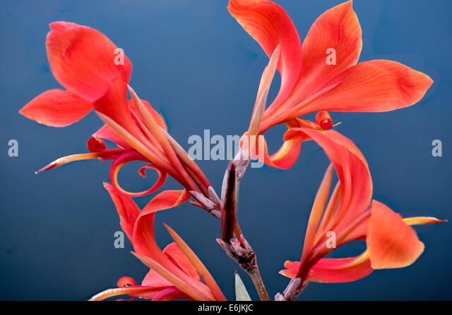 Close up of tropical Flower. Lanai, Hawaii - Stock Image
