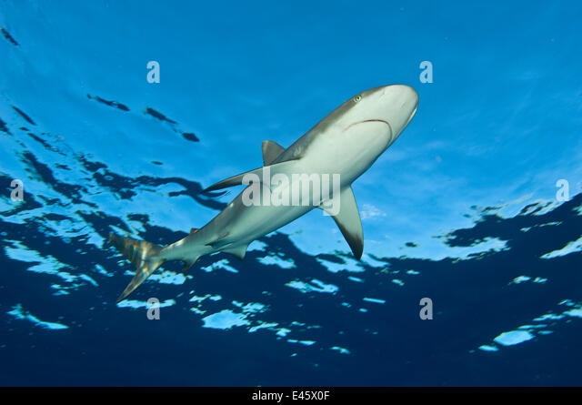 Low angle image of Caribbean reef shark (Carcharhinus perezi) at the surface. Grand Bahama, Bahamas. Tropical West - Stock-Bilder