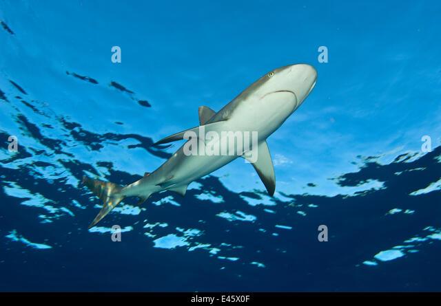 Low angle image of Caribbean reef shark (Carcharhinus perezi) at the surface. Grand Bahama, Bahamas. Tropical West - Stock Image