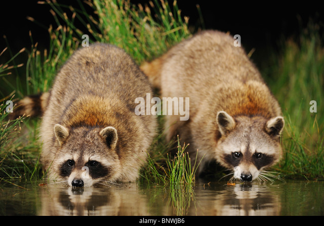 Northern Raccoon (Procyon lotor), adults at night drinking from wetland lake, Fennessey Ranch, Refugio, Coastal - Stock Image