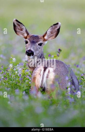 Mule Deer in field of blooming Alfalfa flowers - Stock Image