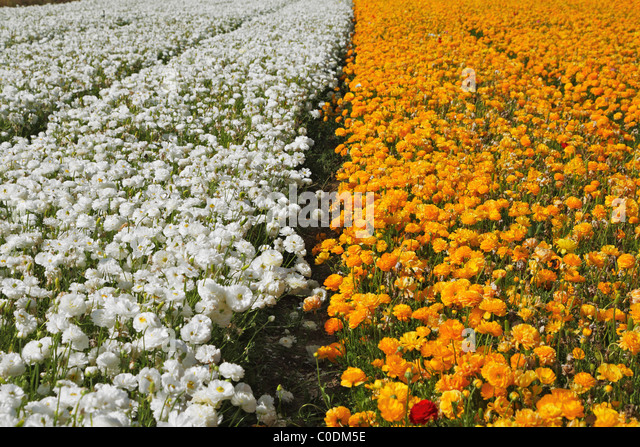 Huge field of multi-coloured buttercups - Stock Image