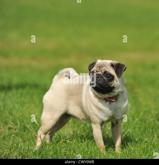 pug dog puppy - Stock Image