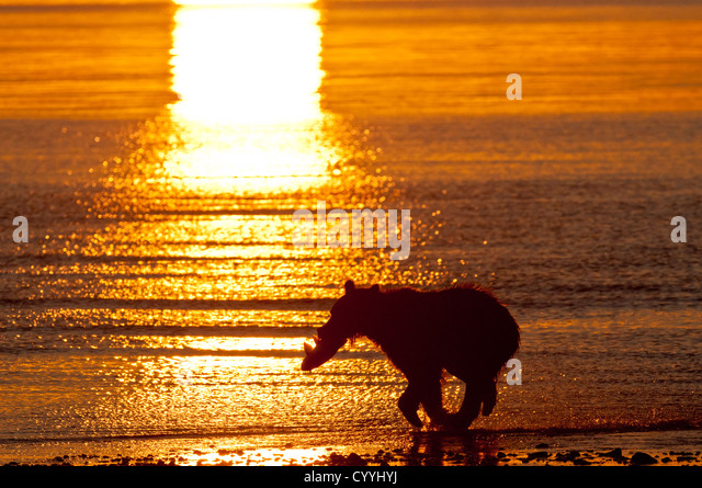 Brown Bear running with salmon at sunrise; Lake Clark National Park, AK - Stock Image