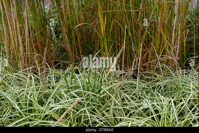 Evergold stock photos evergold stock images alamy for Grasses planting scheme