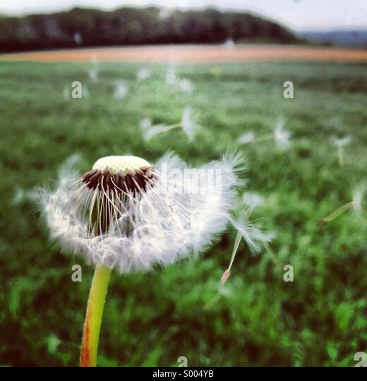 Dandelion in the wind - Stock-Bilder