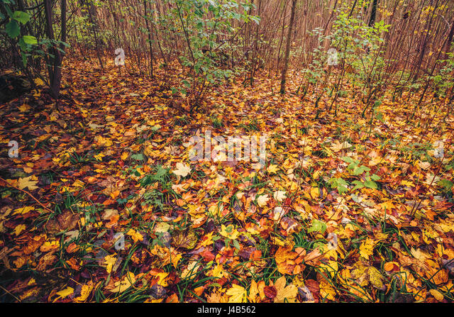 Autumn leaves on the ground in a forest in colorful autumn colors in the fall in various beech and maple leaves - Stock Image