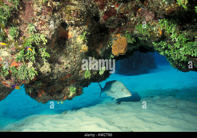 Underwater fish hiding under colorful coral ledge - Stock Image