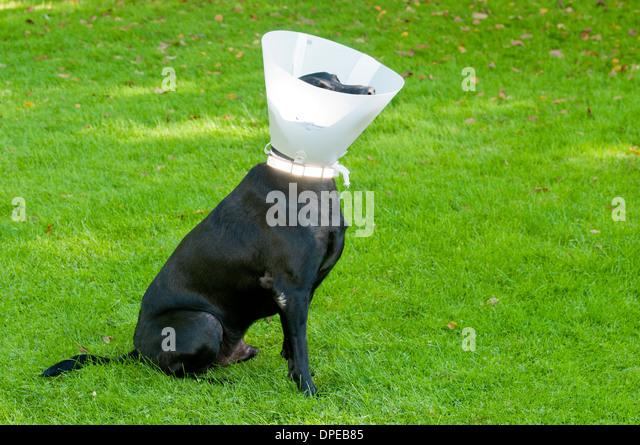 Dog Wearing Stop Licking Wound Collar