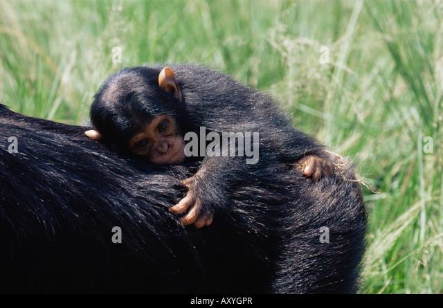 Chimpanzee (Pan troglodytes) infant in captivity, Uganda Wildlife Education Centre, Ngamba Island, Uganda, East - Stock Image