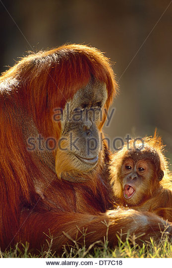 Sumatran orangutan and young Pongo abelii Native to Sumatra Sumatra - Stock-Bilder