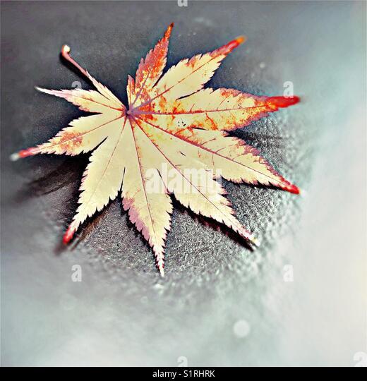 Autumnal Acer Leaf - Stock Image