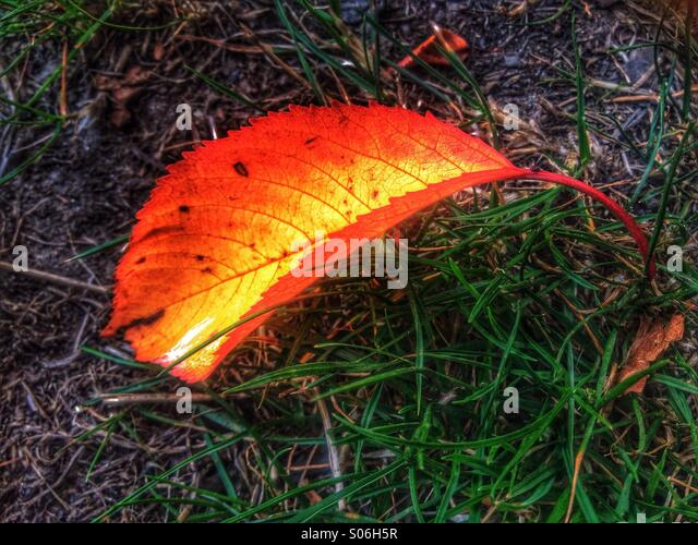 Single autumn leaf on grass - Stock Image