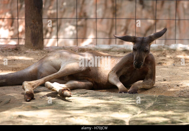 Kangaroo basking in the sun, Thailand, South East Asia - Stock Image