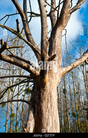 Dead deciduous tree - France. - Stock Image