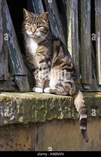 Farmyard cat sitting by a dilapidated barn. - Stock Image