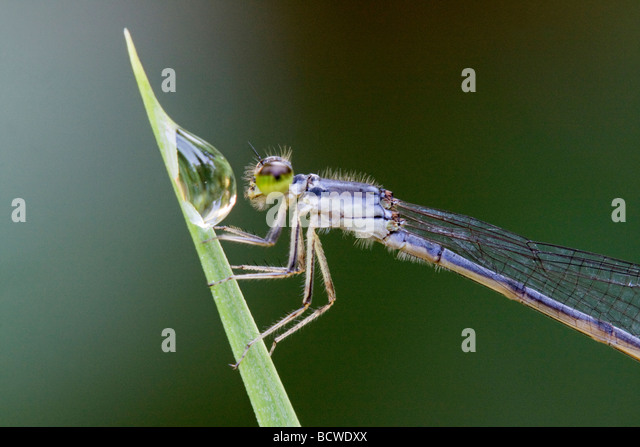 Close-up of a female Fragile Forktail damselfly (Ischnura posita) on a leaf - Stock Image
