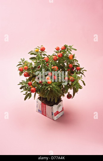 Hamburg, Germany, a tetra pack as an ornamental flower pot for tomato - Stock-Bilder