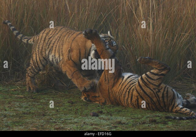Royal Bengal Tiger Cubs Stock Photos & Royal Bengal Tiger ...