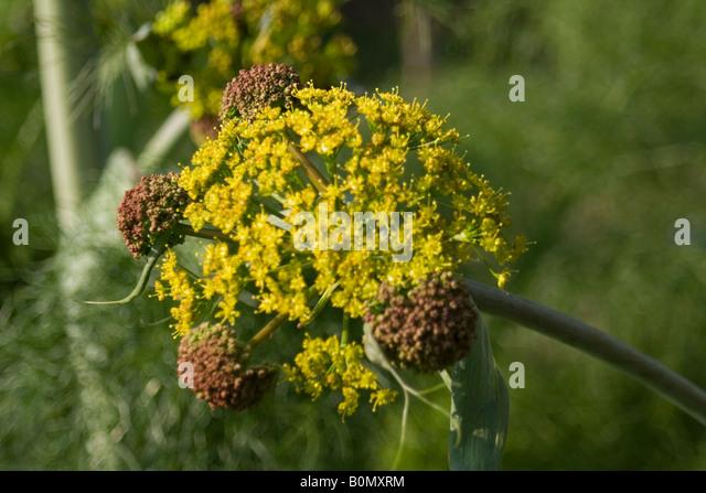 aplaceae ferula communis L fér circumméditérané joseph dupouy nature - Stock Image